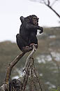 Chimp Kenya